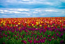 Hà Lan nổi danh với những cánh đồng hoa tulip ngút ngàn